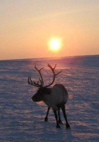 Полярное небо - солнце и северный олень