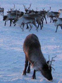 Зимой северные олени кормятся ягелем